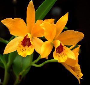 Orkide udstilling @ Lyne Forsamlingshus | Tarm | Danmark